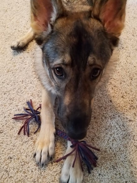 German Shepherd holding a tug toy.