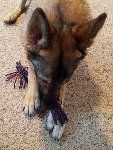German Shepherd chewing on the t-shirt tug toy.