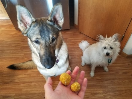 German Shepherd Dog and poodle terrier waiting for treats.