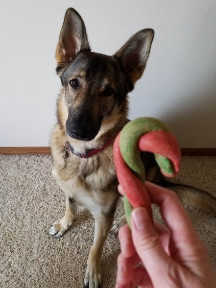 German Shepherd waiting for a candy cane dog treat.