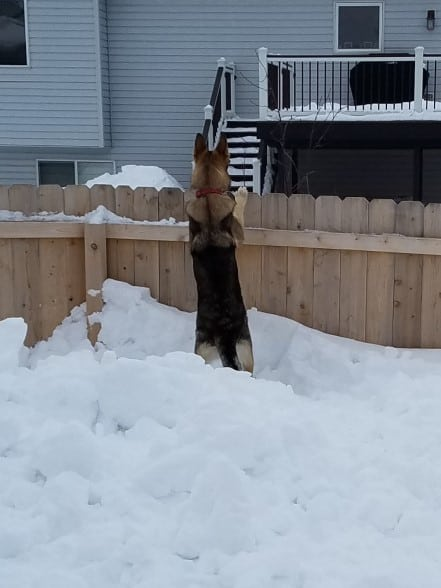 German Shepherd standing on snow looking over a 6 foot fence.