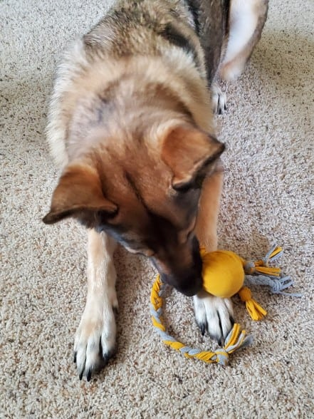 A German Shepherd playing with a DIY tennis ball t-shirt toy.