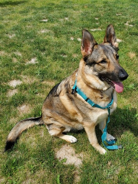 German Shepherd with harness partially on.